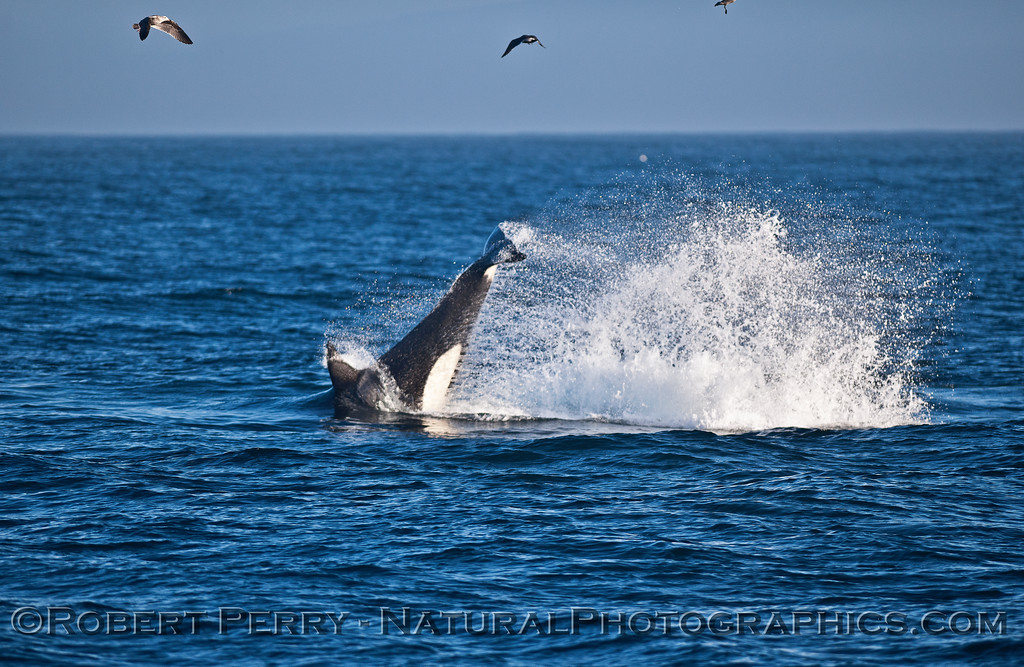 Killer whale tail slapping.