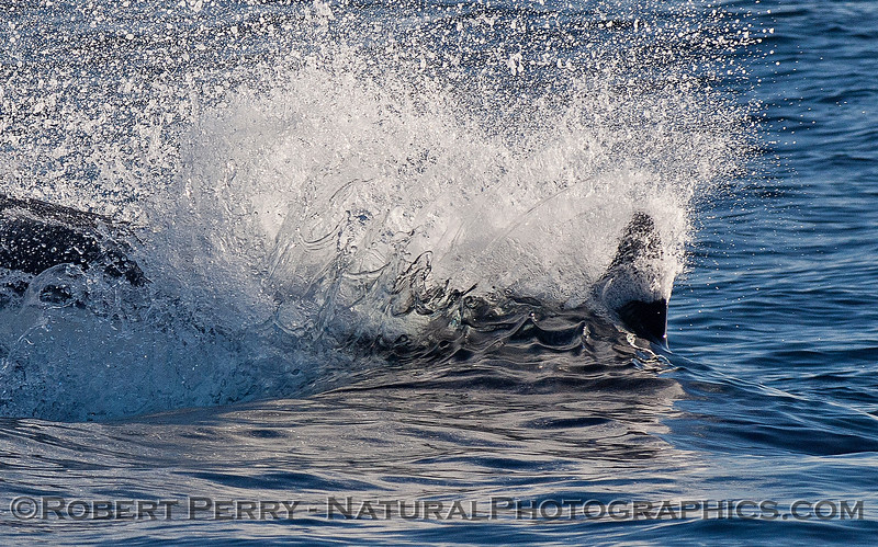 Extreme close up:   A female killer whale rushes ahead to attack a sea lion.