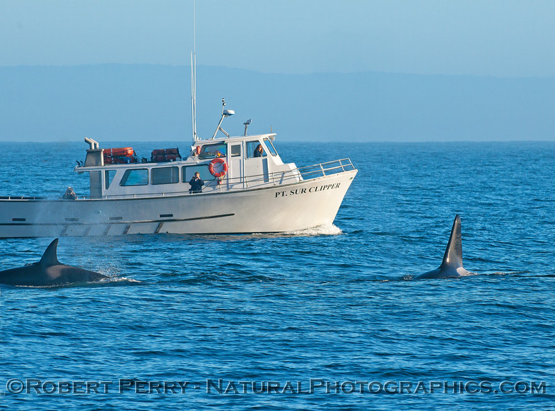 "Two killer whales near the vessel ""Point Sur Clipper"""