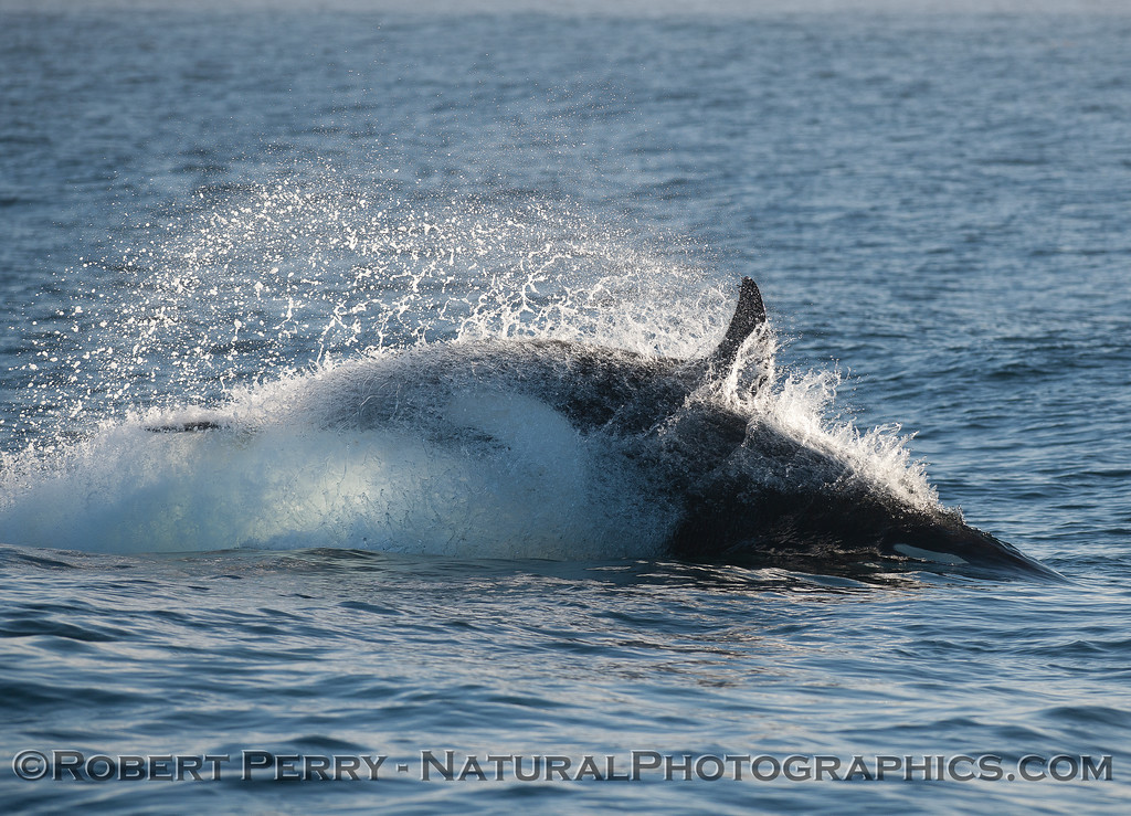 A female killer whale rushes ahead to attack a sea lion.