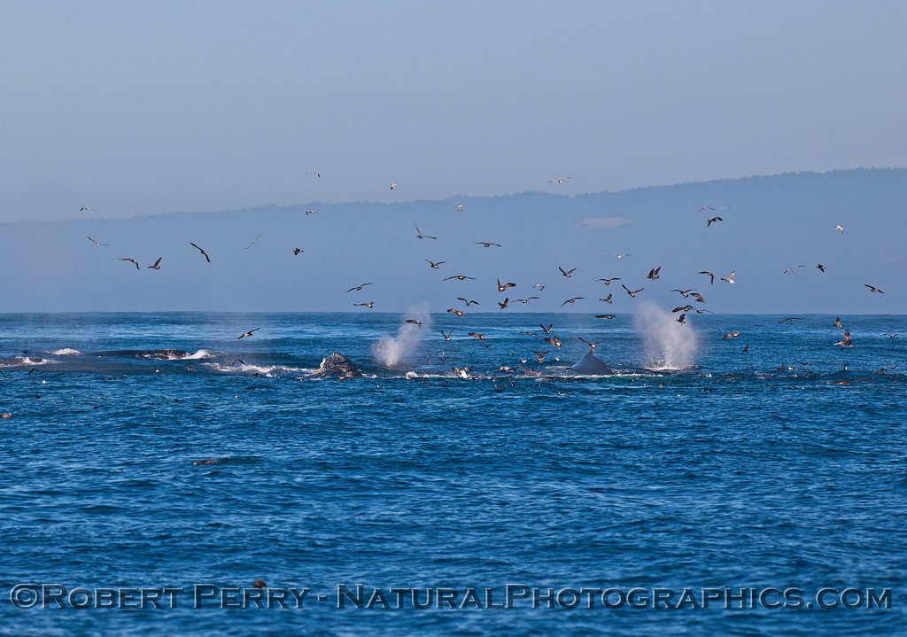 Spouts, dorsal fins and sea birds on an oceanic hot spot.