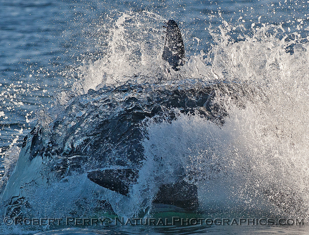 Extreme close-up:   A female killer whale rushes ahead to attack a sea lion.