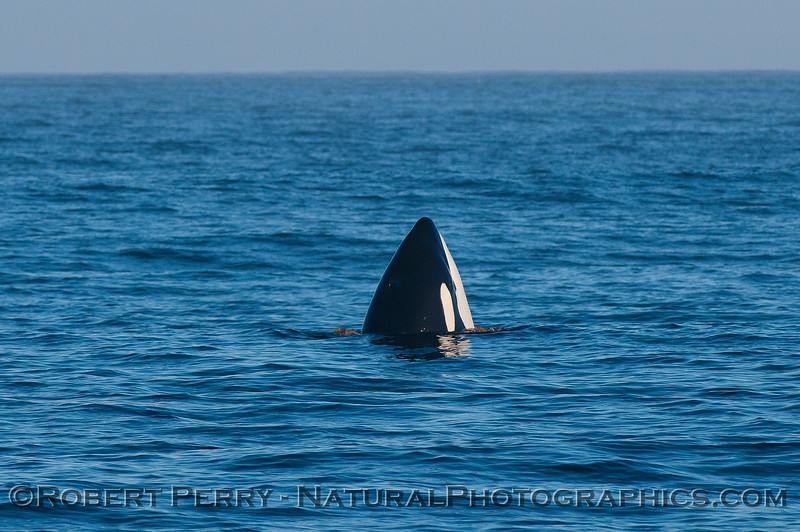 Male killer whale spy-hopping with giant kelp around its body.