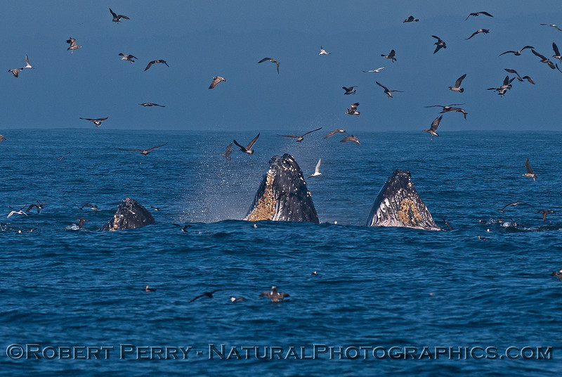 Surface lunge-feeding humpback whales catching the morning sunlight too.