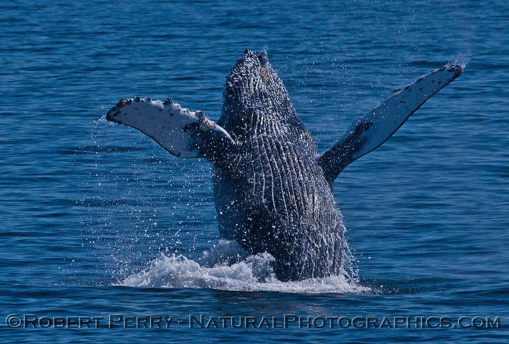 Megaptera novaeangliae breaching 2016 04-19 Monterey Bay-120