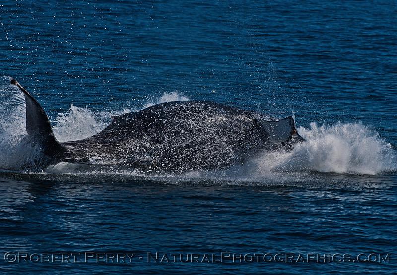 Megaptera novaeangliae breaching 2016 04-19 Monterey Bay-030
