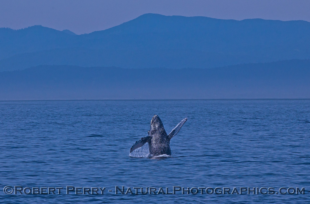 Megaptera novaeangliae breaching 2016 04-19 Monterey Bay-167