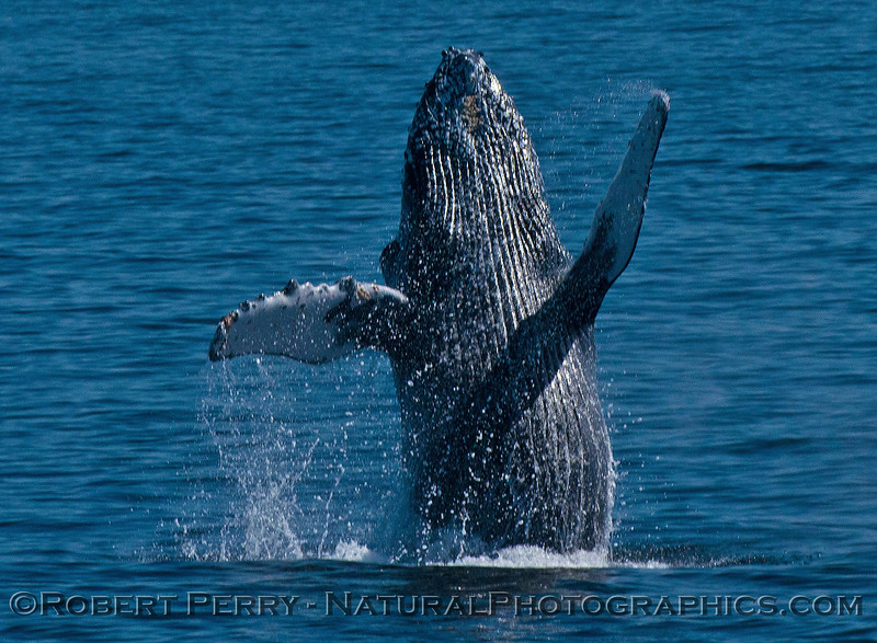 Megaptera novaeangliae breaching 2016 04-19 Monterey Bay-119