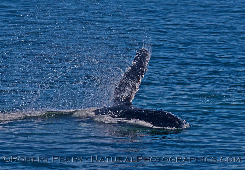 Megaptera novaeangliae pect slap 2016 04-19 Monterey Bay-038