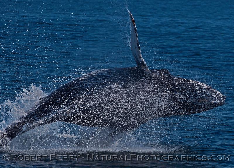 Megaptera novaeangliae breaching 2016 04-19 Monterey Bay-029