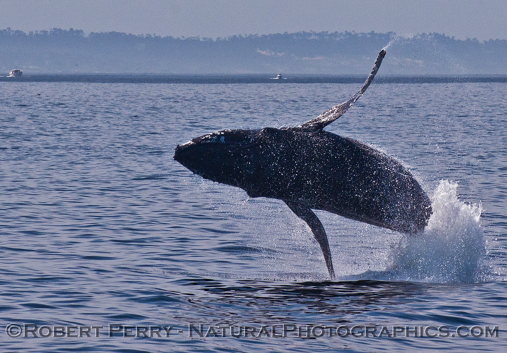 Megaptera novaeangliae breaching 2016 04-19 Monterey Bay-198