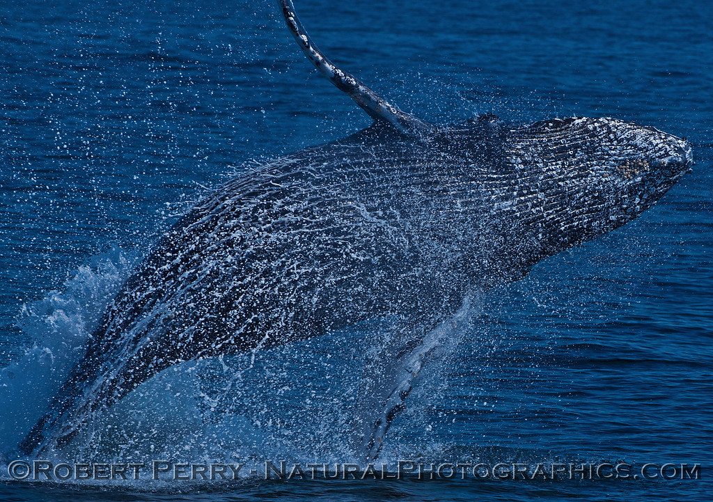 Megaptera novaeangliae breaching 2016 04-19 Monterey Bay-028