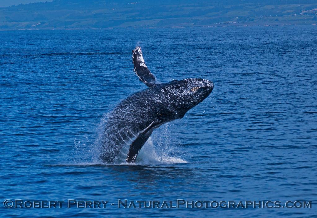 Megaptera novaeangliae breaching 2016 04-19 Monterey Bay-013