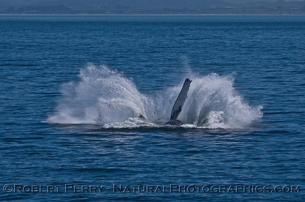 Megaptera novaeangliae breaching 2016 04-19 Monterey Bay-123