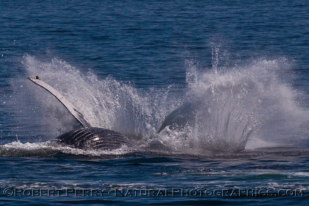 Megaptera novaeangliae breaching 2016 04-19 Monterey Bay-128
