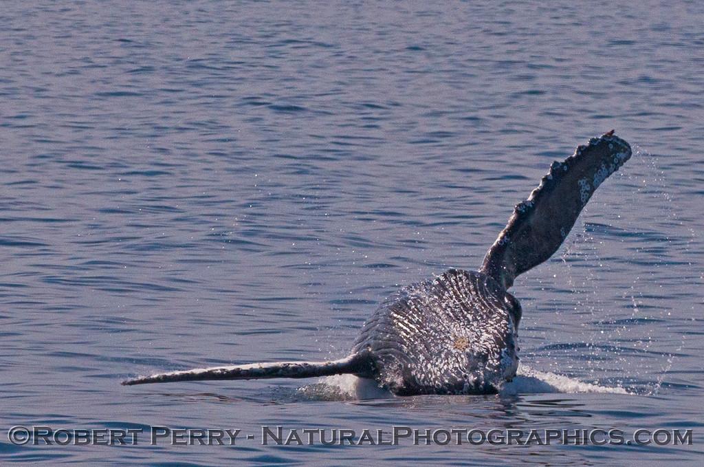 Megaptera novaeangliae breaching 2016 04-19 Monterey Bay-217