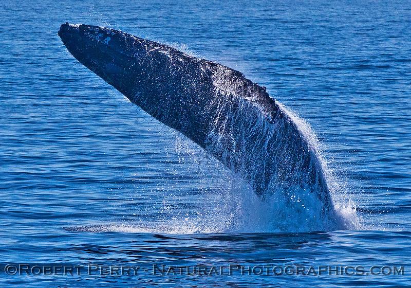 Megaptera novaeangliae breaching 2016 04-19 Monterey Bay-152