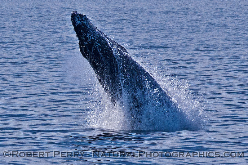 Megaptera novaeangliae breaching 2016 04-19 Monterey Bay-195