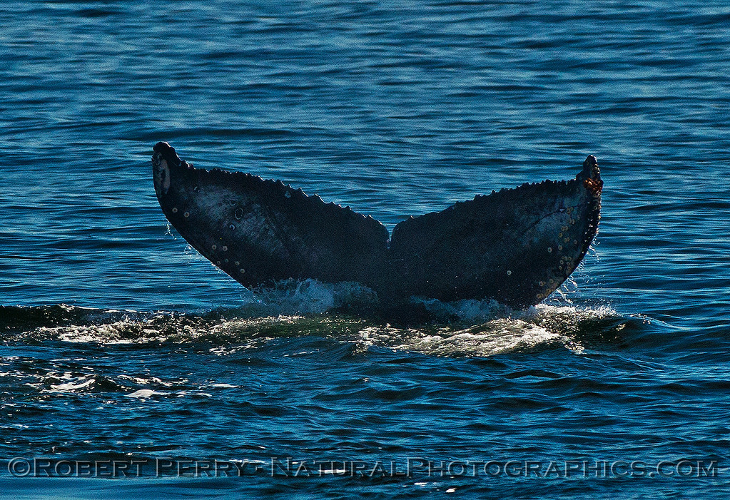 Megaptera novaeangliae tail flukes 2016 04-19 Monterey Bay-116