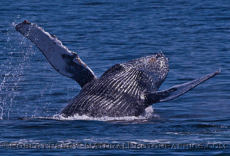 Megaptera novaeangliae breaching 2016 04-19 Monterey Bay-126