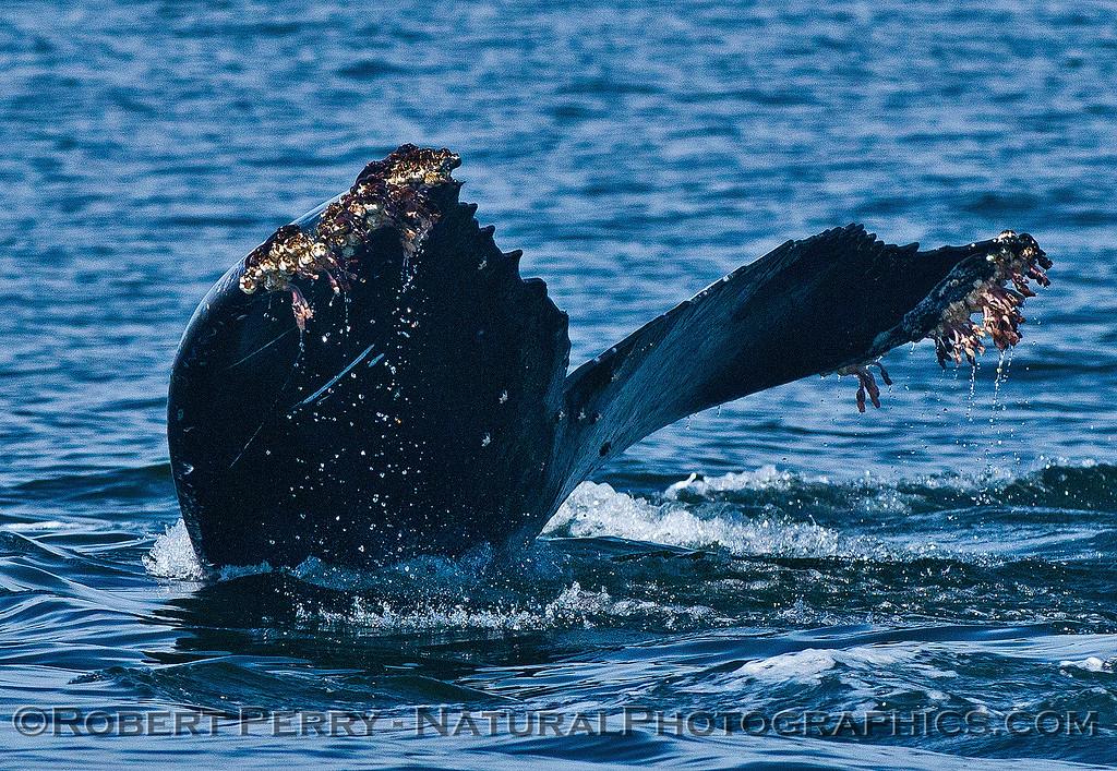 Megaptera novaeangliae TAIL FLUKES 2016 04-19 Monterey Bay-b-004