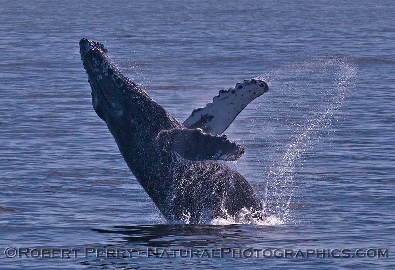 Megaptera novaeangliae breaching 2016 04-19 Monterey Bay-142