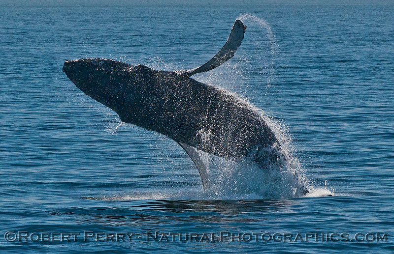 Megaptera novaeangliae breaching 2016 04-19 Monterey Bay-153