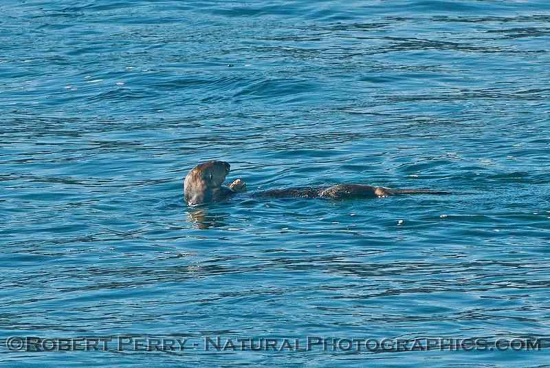 Enhydra lutris 2016 04-19 Monterey Bay-004