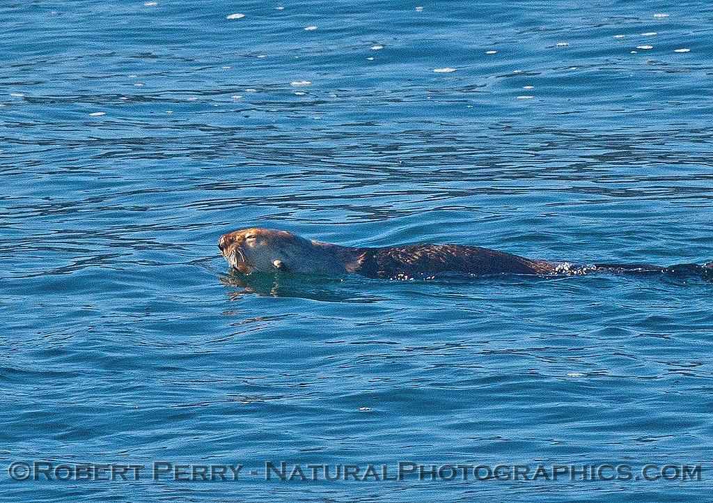 Enhydra lutris 2016 04-19 Monterey Bay-012