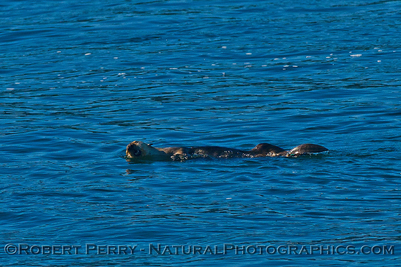 Enhydra lutris 2016 04-19 Monterey Bay-011