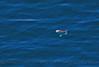 Mola mola looking down from above 2016 04-20 Big Sur Coast-a-041