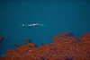 Eschrichtius robustus cow-calf in Egregia high altitude looking down 2016 04-20 Big Sur Coast-b-025