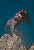 Gymnogyps californianus on rodk CLOSE 2016 04-20 Big Sur Coast-a-069