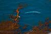 Eschrichtius robustus cow-calf in Egregia high altitude looking down 2016 04-20 Big Sur Coast-a-255