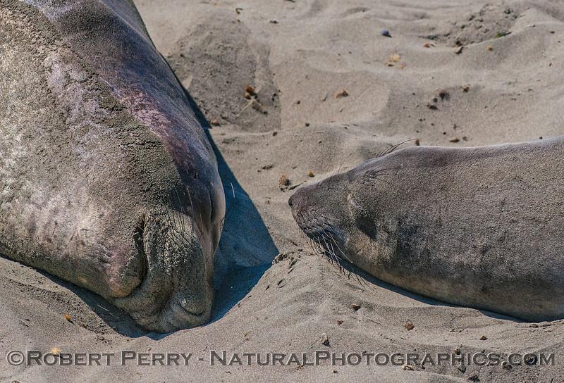 Mirounga angustirostris on beach 2016 09-26 Piedras Blancas-086