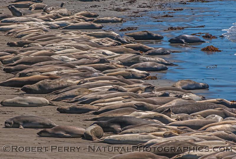 1-Mirounga angustirostris GROUP on beach 2016 09-26 Piedras Blancas-001