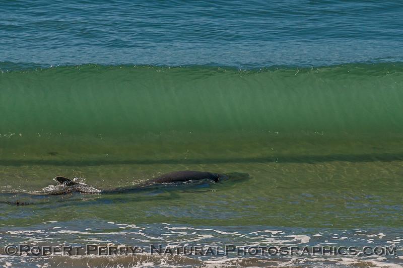 Mirounga angustirostris swimming into wave 2016 09-26 Piedras Blancas-101