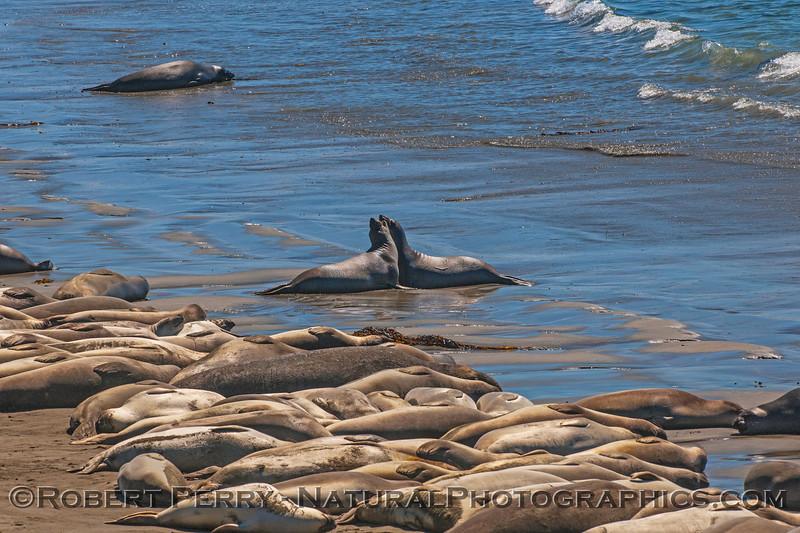 Mirounga angustirostris on beach 2016 09-26 Piedras Blancas-076