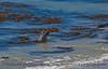 Mirounga angustirostris on beach 2016 09-26 Piedras Blancas-044
