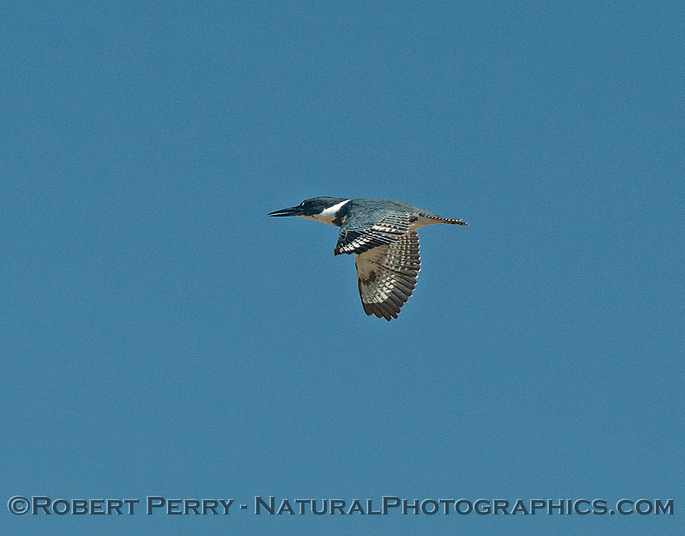 Belted kingfisher fly-by