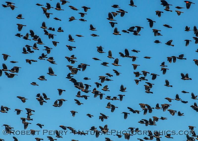Red-winged blackbird flock.