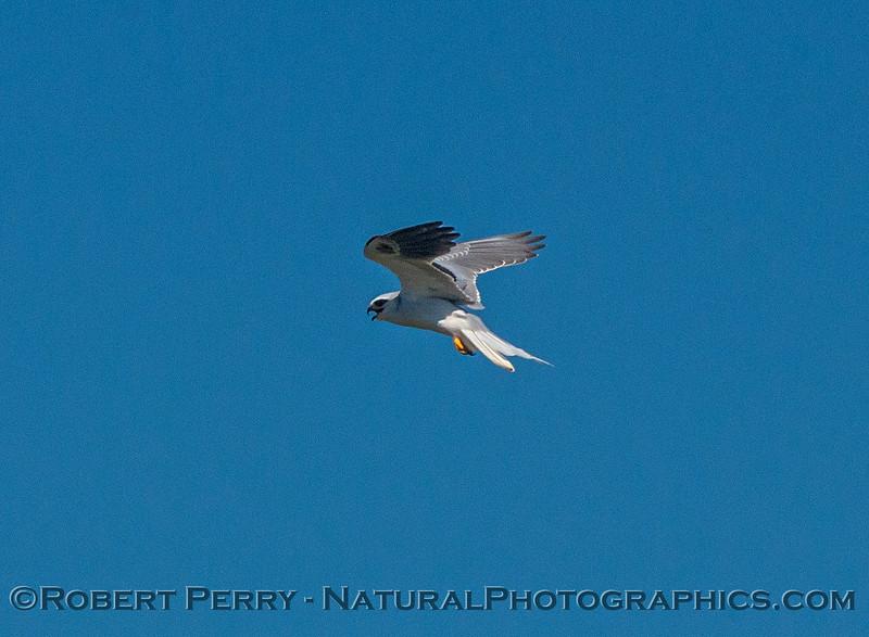 White-tailed kite in flight.