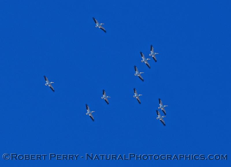 White pelicans in flight near Stone Lakes National Wildlife Preserve.