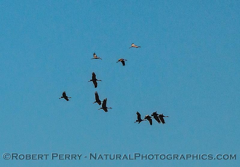 Sandhill cranes in flight near Isenberg Crane Reserve.