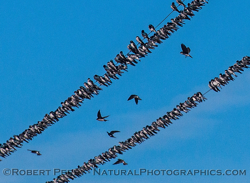 Tree swallows.  Part of at least 1,000 on telephone wires near Cosumnes River Preserve.