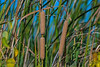 Cattails.