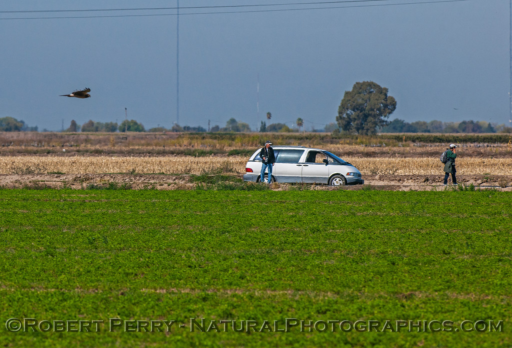 A northern harrier takes a look at a mini-van with oblivious birders.