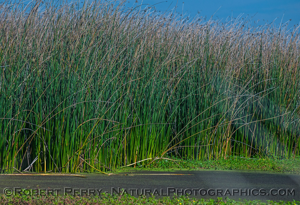 Reeds.  Uncountable singing birds are hiding in there.