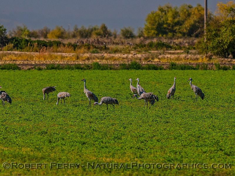 Sandhill cranes on ground near Isenberg Crane Reserve.