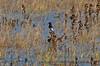 Sayornis nigricans black phoebe 2016 10-22 Cosumnes Preserve - 001